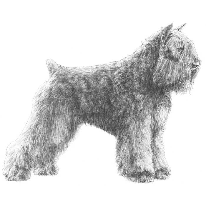 bouvier des flandres grooming guide